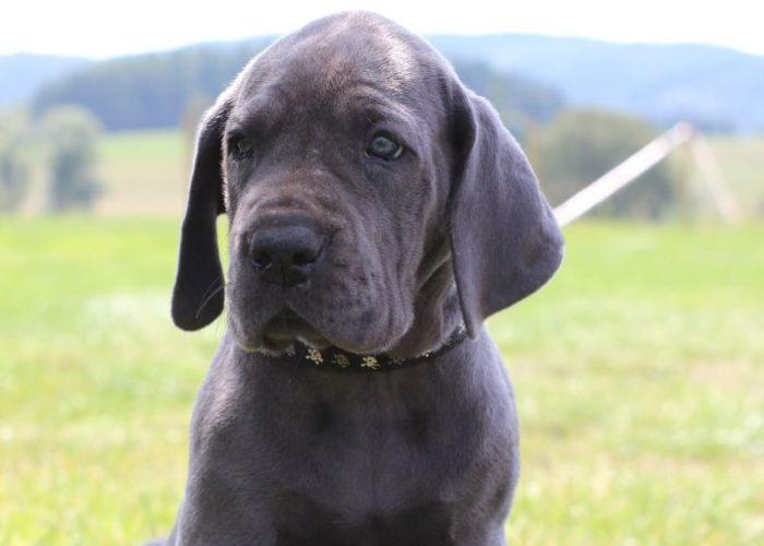 Deutsche Doggen von den blauen Eifel Quellen